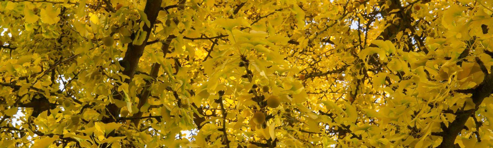 gingko tree at oxford botanic garden
