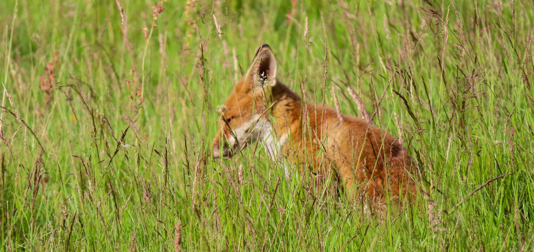 arboretum  fox  meadow  img 8738 2