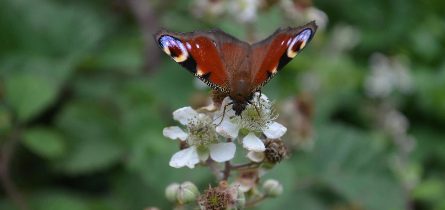 Peacock Butterfly on Brambles