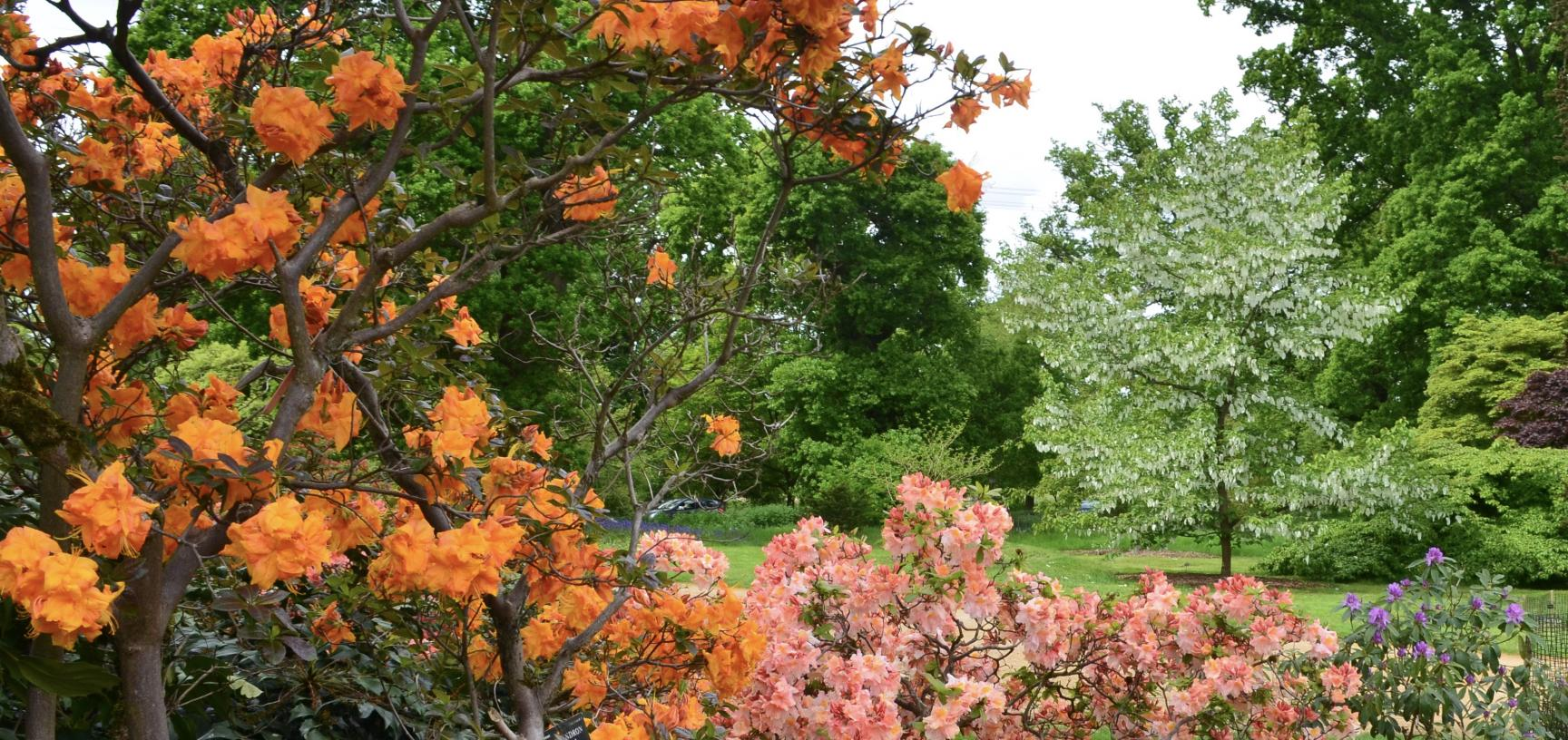 Azalea and Handkerchief Tree