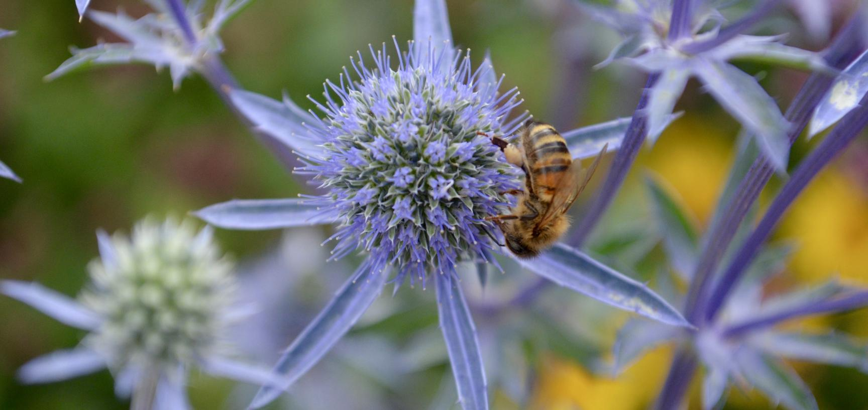 Thistle in the Merton Border with Bee
