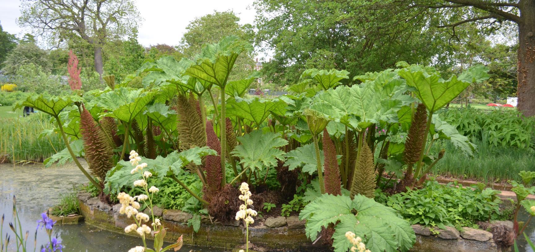 Gunnera in the Bog Garden