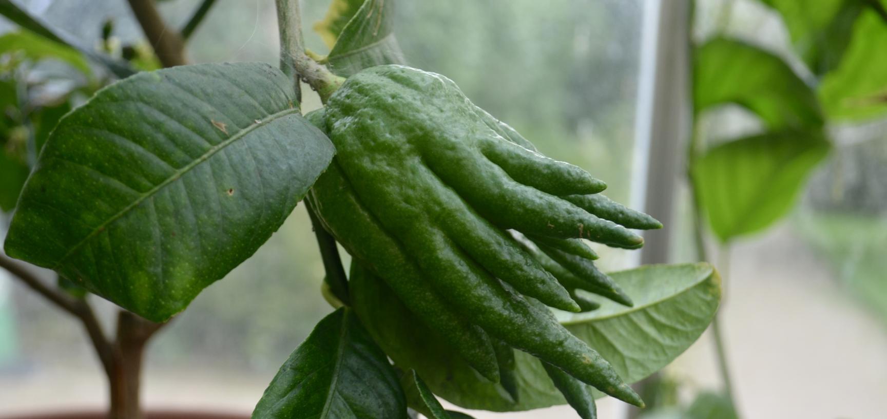 Citrus Medica in Conservatory