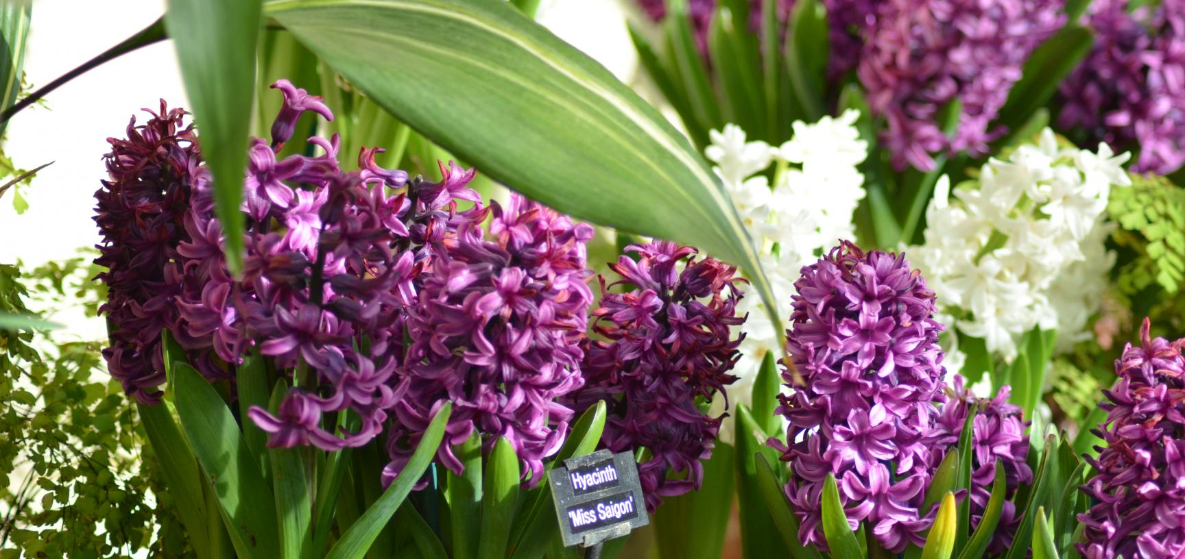 Hyacinth display in Conservatory