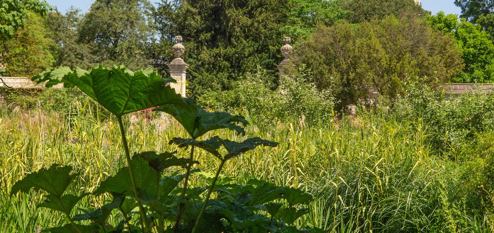 lower garden  gunnera manicata  water garden  botanic garden