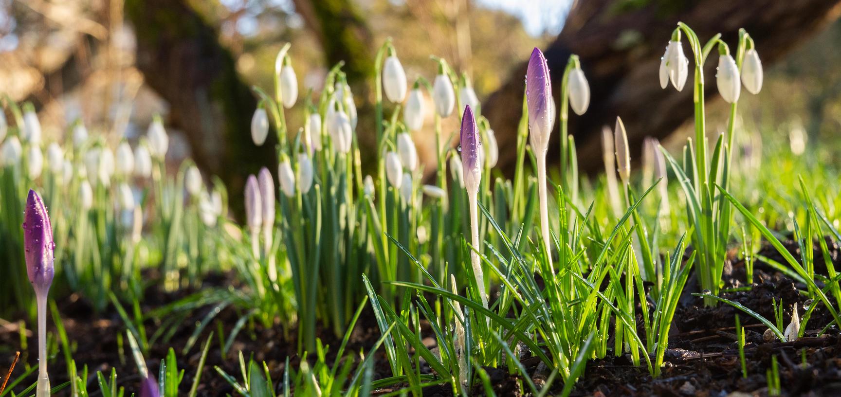 snowdrops garden p1012098