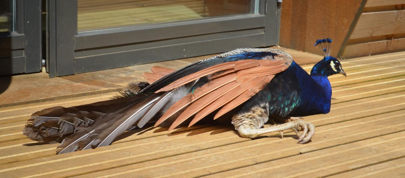 Peacock Sunbathing
