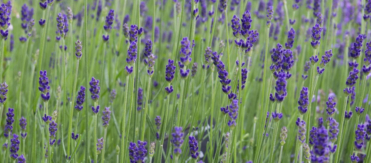lavender p1011681