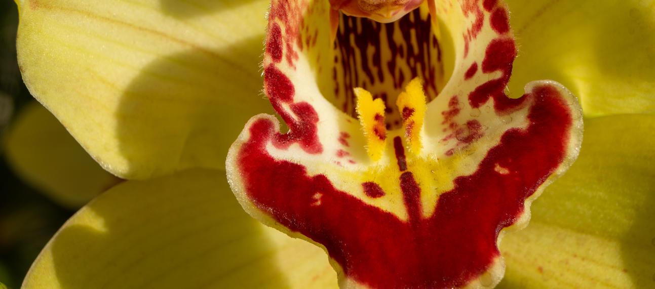 orchid  cymbidium gx lewes