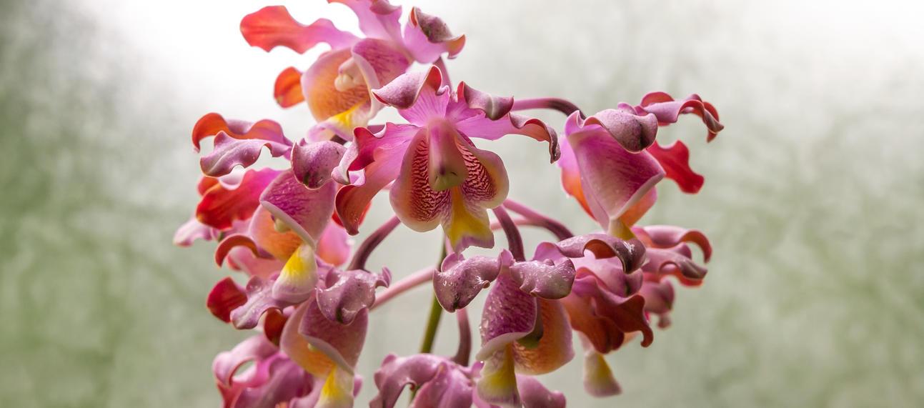 orchid  myrmecophila tibicinis
