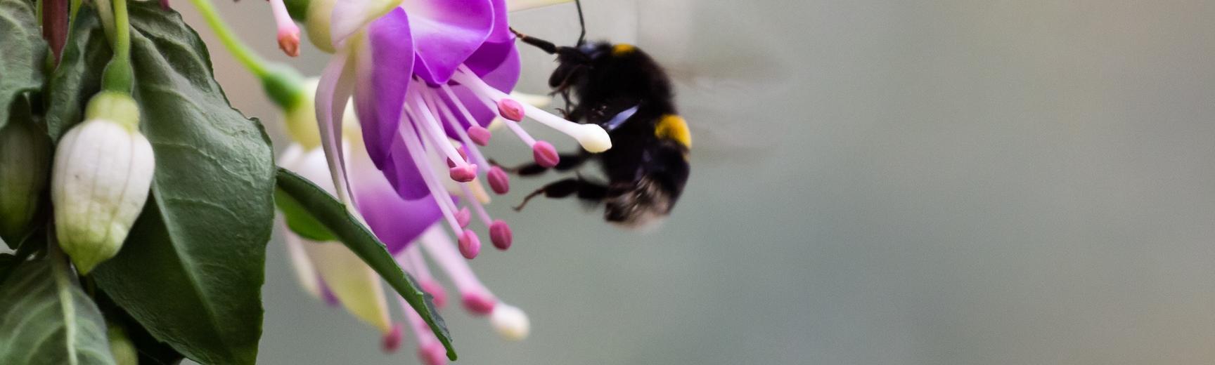 bee fuchsia - Oxford Botanic Garden