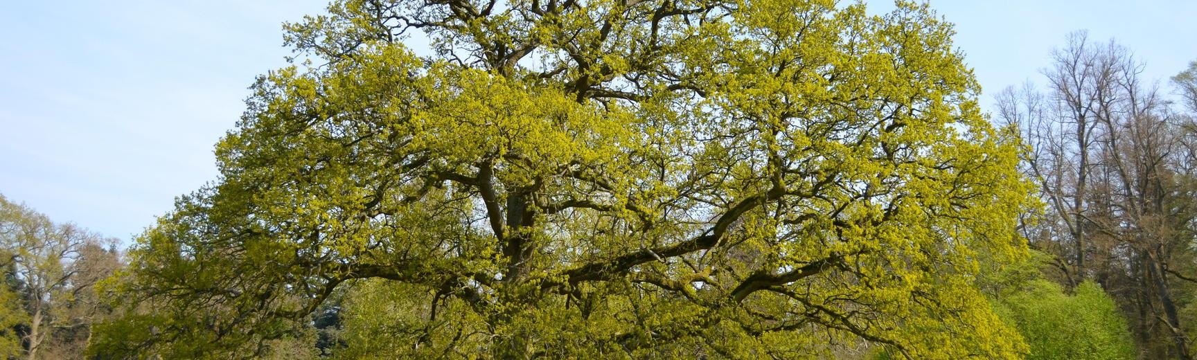 Oak Tree in the Parkland in Spring