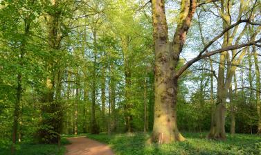 Lime Wood