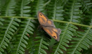 Butterfly on Bracken