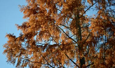 Dawn Redwood Autumn Colour