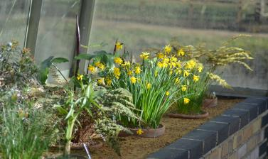 Daffodils in the Alpine House