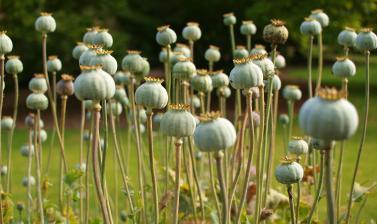 medicinal quarter opium poppy tw03