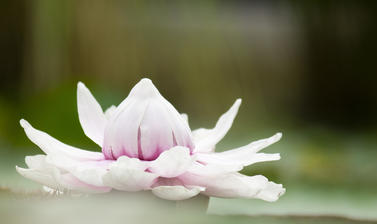 victoria amazonica  glasshouses  botanic garden  water lily house p1012153
