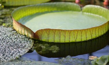 victoria cruziana leaf