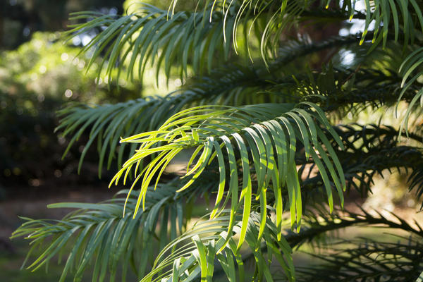 Wollemi pine - Harcourt Arboretum - Threatened Tree Trail