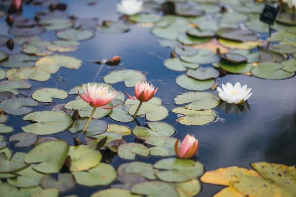 Lily Pond (Wallman Lo Res)