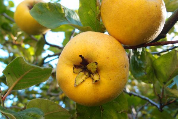 cydonia oblonga fruit