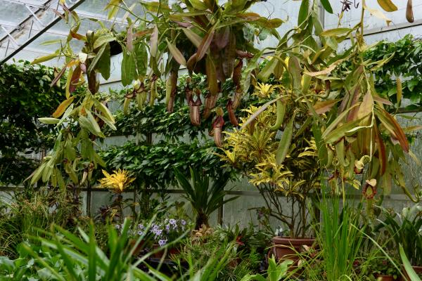 Nepenthes Pitcher Plant Lily House