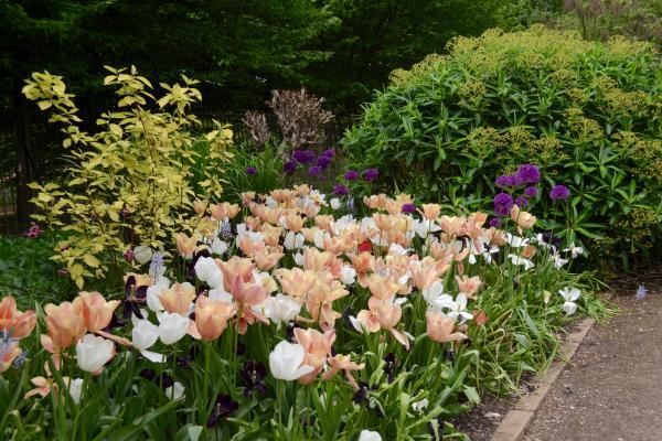 Tulips in the Autumn Border