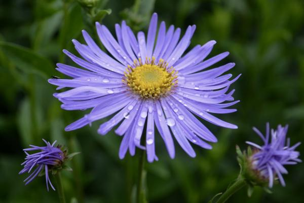 Purple Flower in the Herbaceous Border