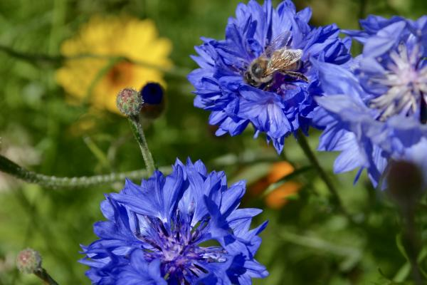Blue Flowers and a Bee