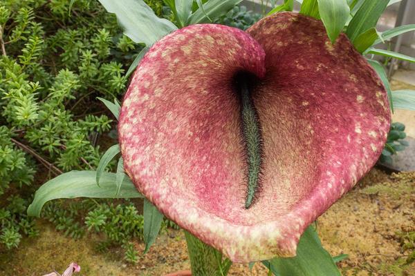 helicodiceros muscivorus  plants from high places  glasshouse  botanic garden