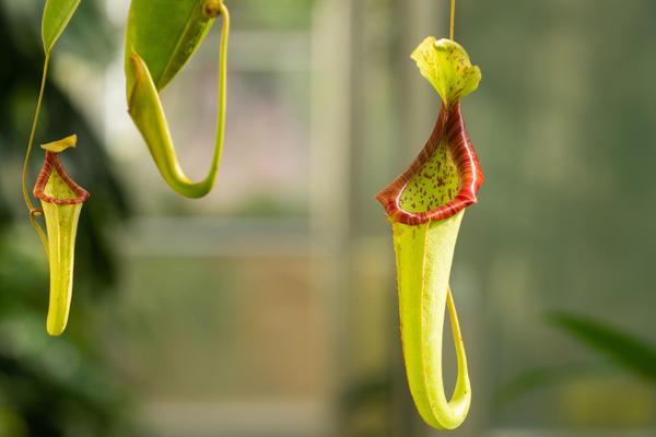 Nepenthes - Oxford Botanic Garden - Glasshouses