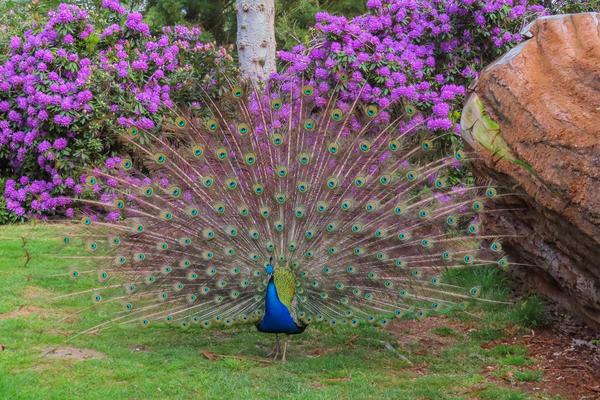 peacock  arboretum  spring
