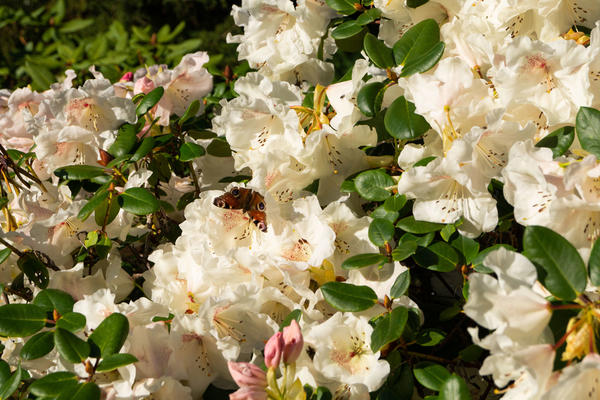 rhododendron  butterfly  insects  harcourt arboretum