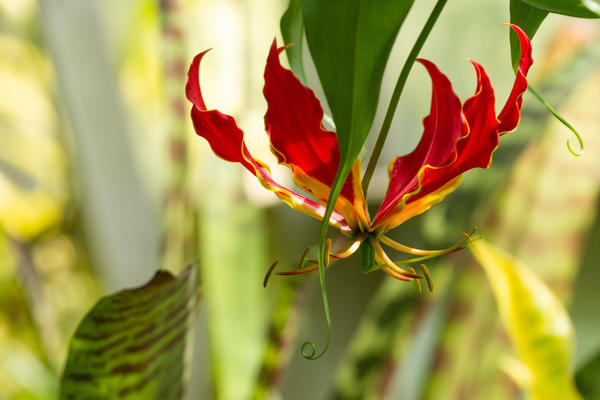 gloriosa superba at oxford botanic garden