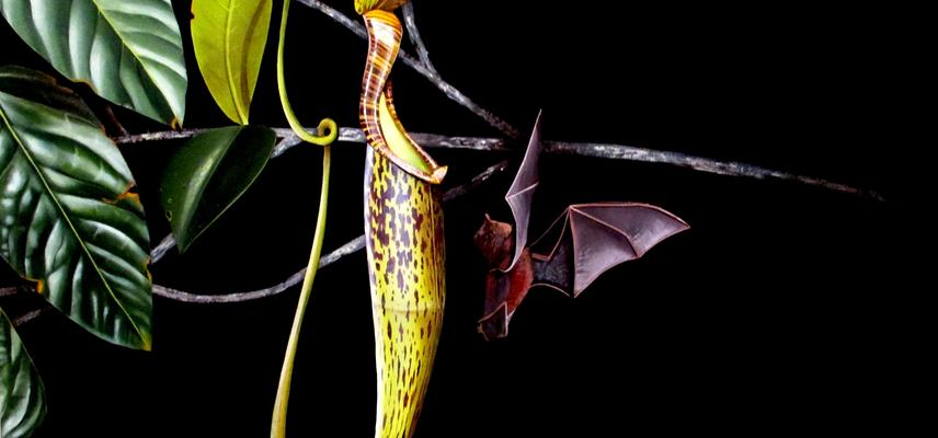 evolution of carnivorous pitcher plants
