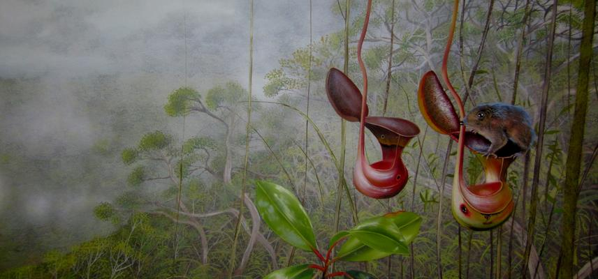 27 killler nepenthes lowii mount trusmadi