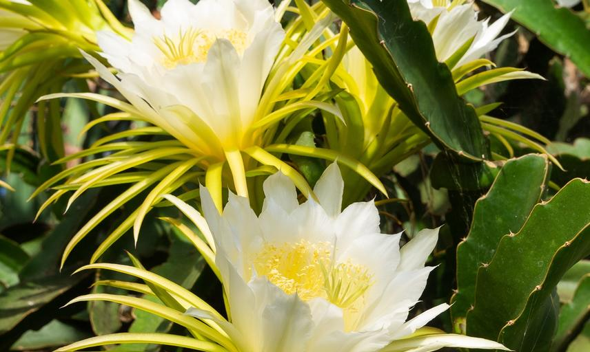 Queen of the night (Hylocereus undatus) - glasshouse - botanic garden