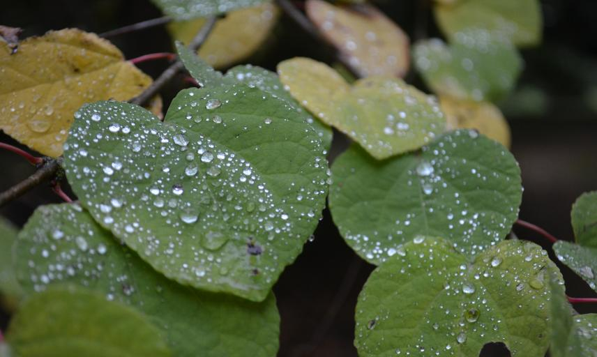 Raindrops on Katsura Leaves