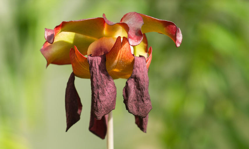 Pitcher plant flower - Oxford Botanic Garden - Glasshouses