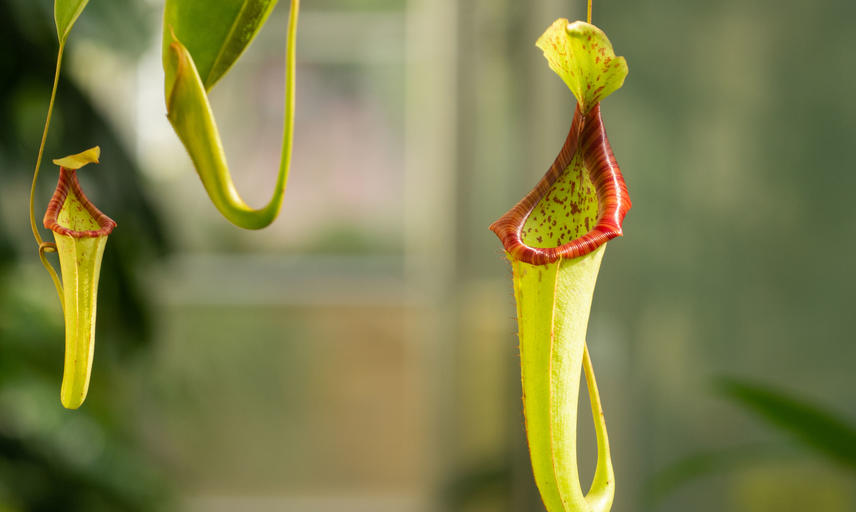 Nepenthes - Oxford Botanic Garden - Glasshouses