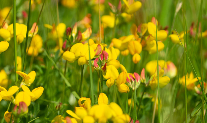 Harcourt Arboretum - wildflower meadow - Bird's foot trefoil