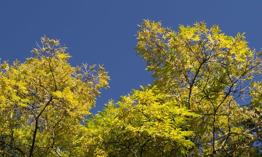 phellodendron amurense at harcourt arboretum