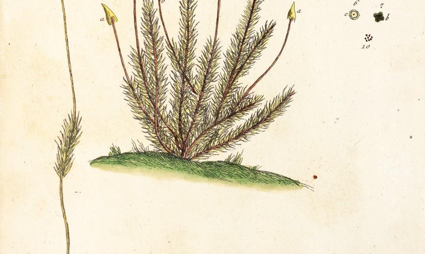 polytrichum plants400
