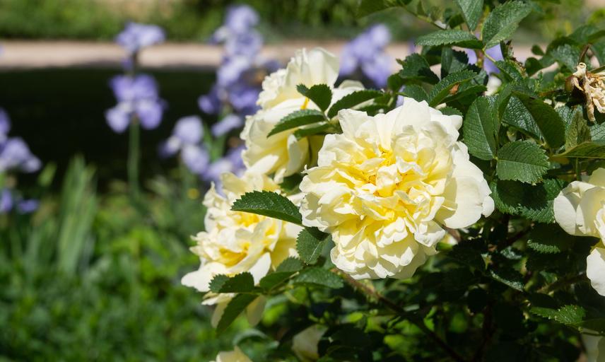 rose  rosa agnes  oxford botanic garden p1011307
