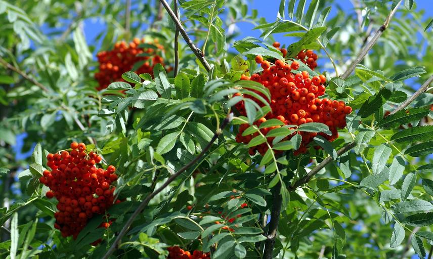 rowan tree image by henryk niestroj from pixabay