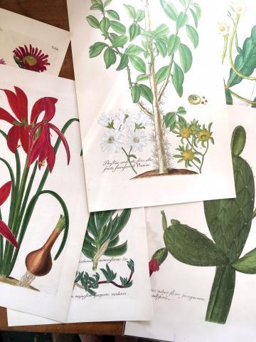 dillenius prints